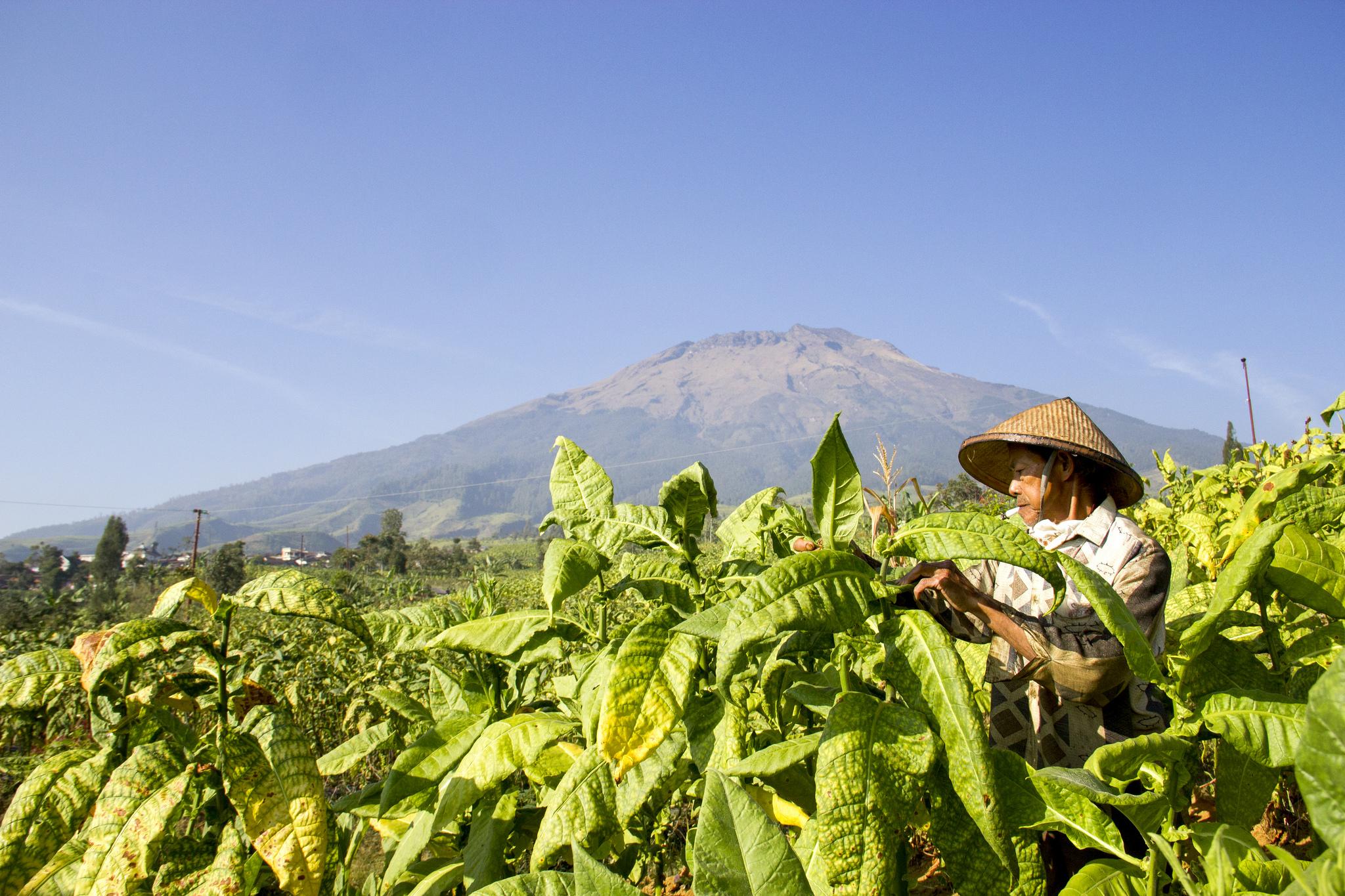 Teruslah Menanam Tembakau dan Cengkeh, Wahai Petani Indonesia