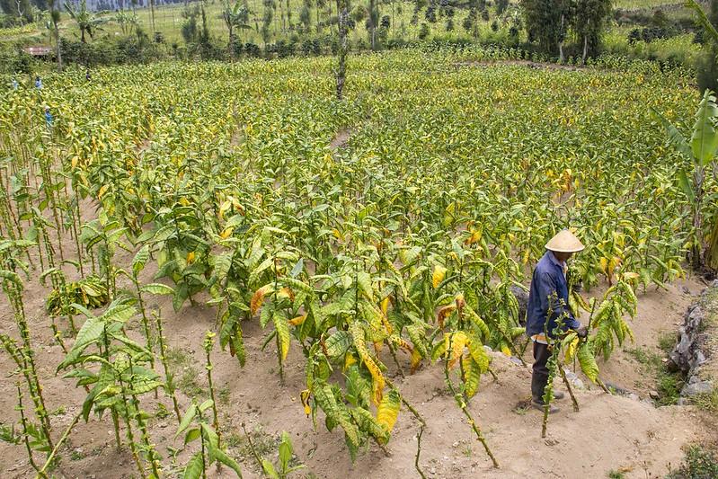 tembakau deli sumatera