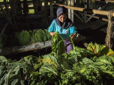 mutu tembakau indonesia